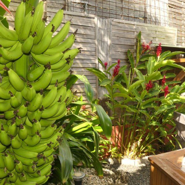 33 bananer