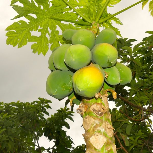 33.papayer femelle JPG