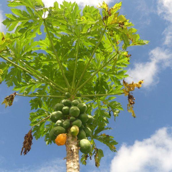 34 papayer femelle